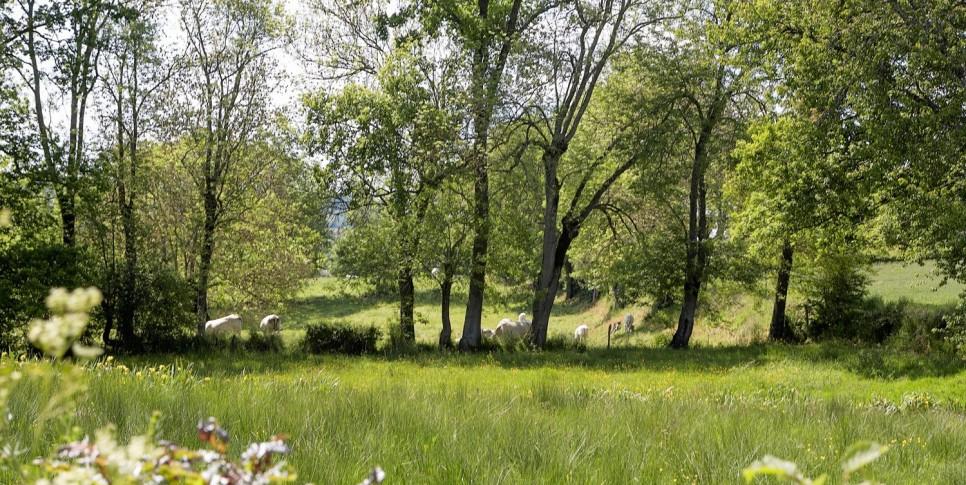 Les vaches dans les champs